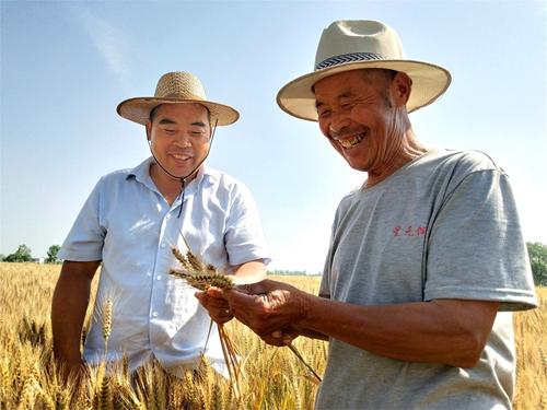 山东郯城:富硒紫小麦种植不愁卖